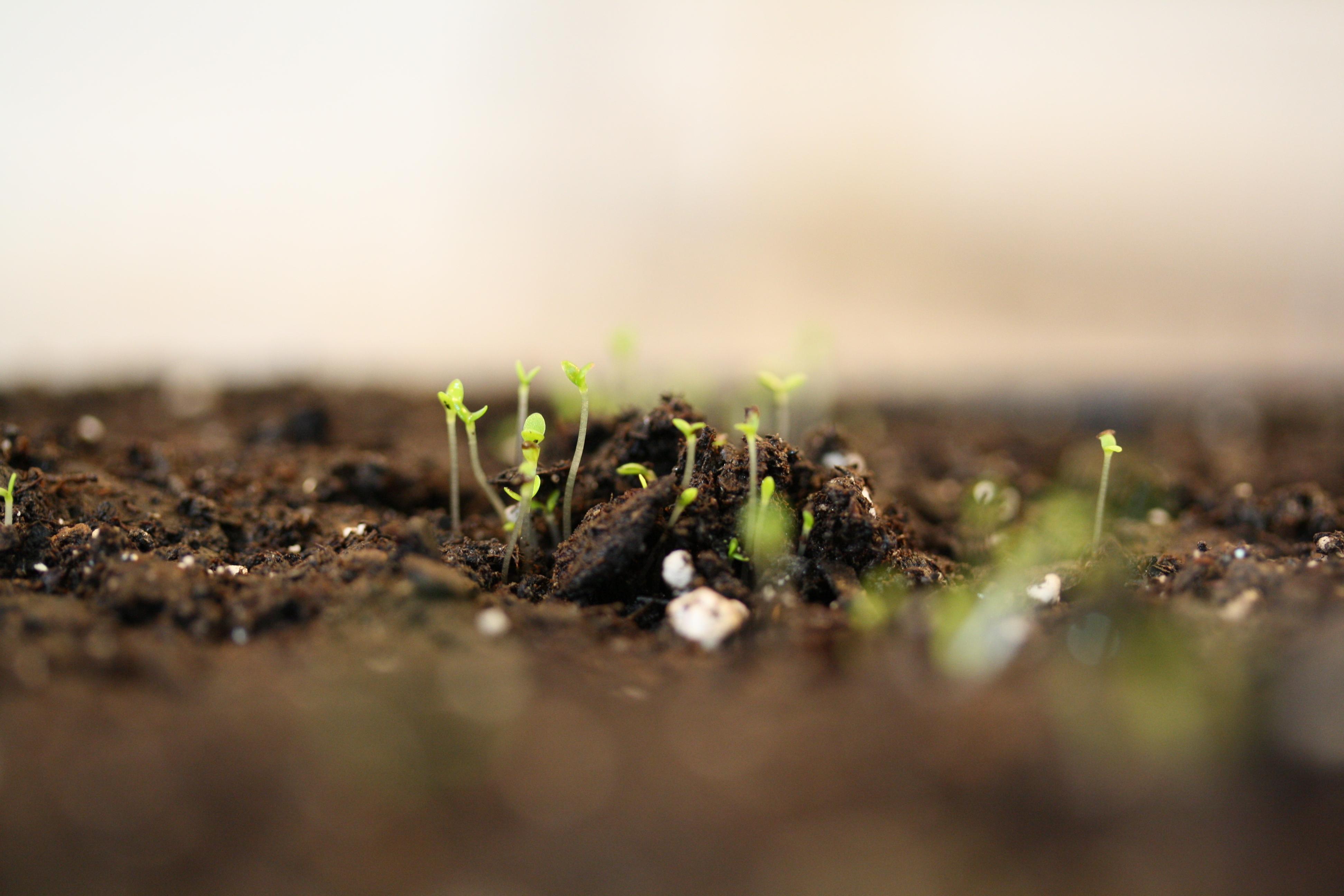Tarragon sprouts