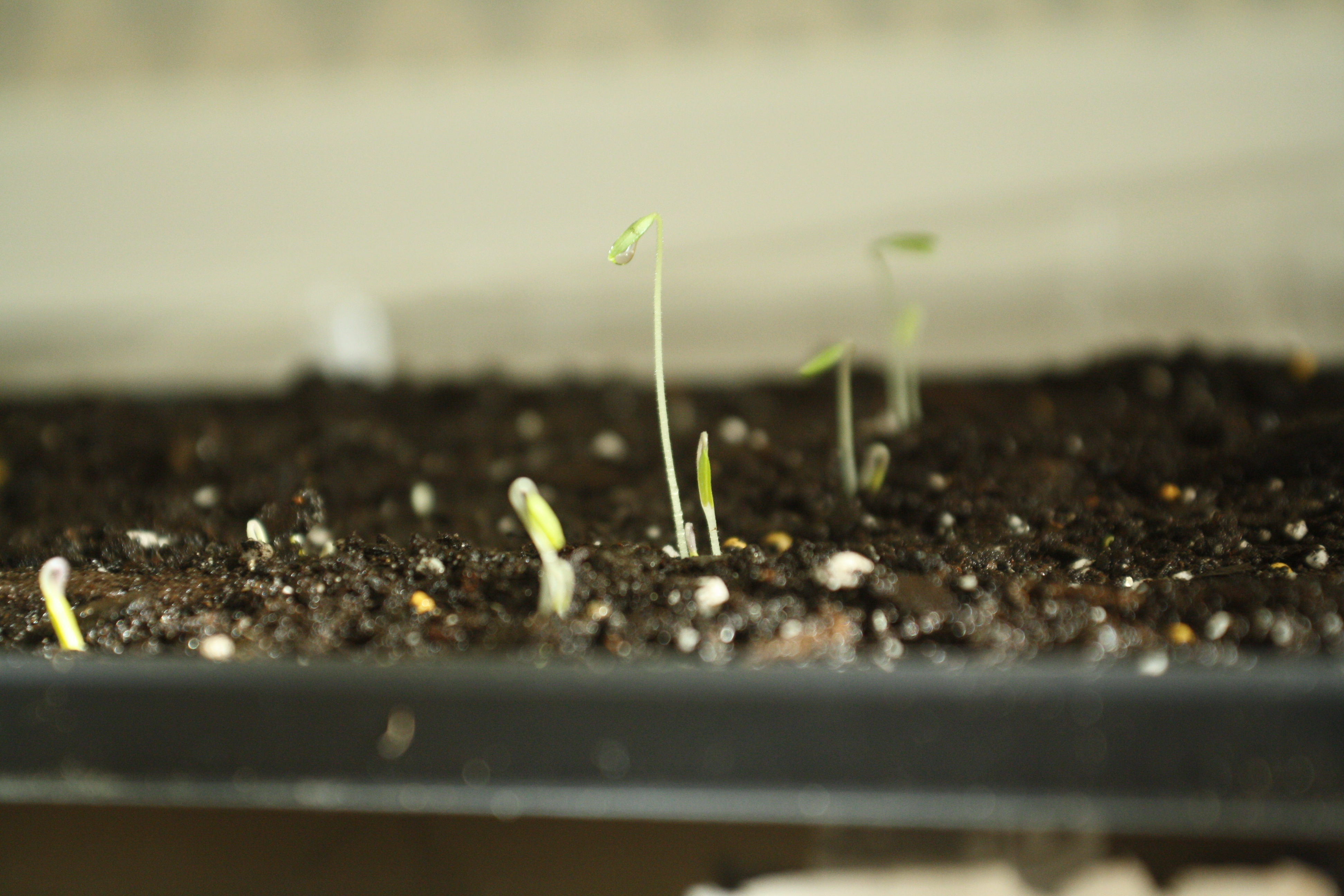 Grape Tomato Sprouts